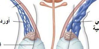 علاج دوالي الخصية في الأردن وأهم الأمراض المتعلقة بالخصيتين